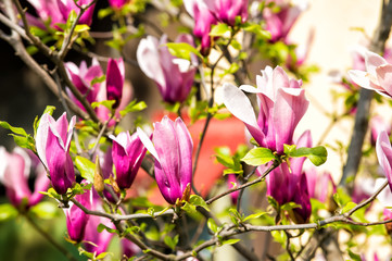 Magnolia tree in violet flowers on sunny day, spring