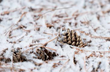 Fir cones under a heavy snow in winter