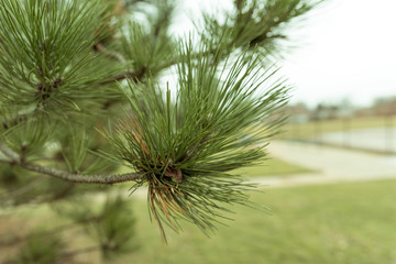 Green pine tree branch in a park