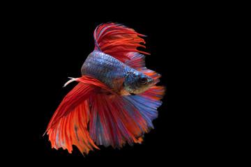Pose of fighting fish, Fighting fish on balck background