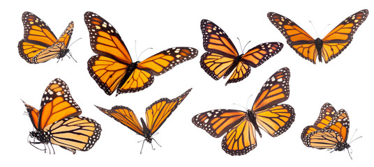 Monarch butterfly composite isolated on white
