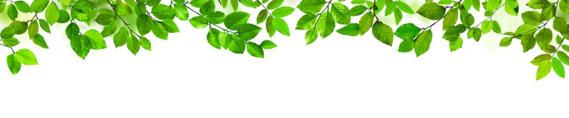 Grüne Blätter als Freisteller vor weißem Hintergrund Fototapete