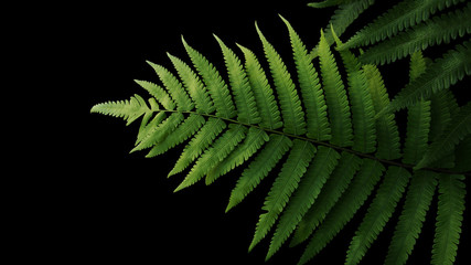 Green leaves fern tropical rainforest foliage plant on black background, clipping path included.