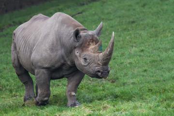 photo of a majestic Black Rhino