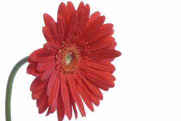 Gerber daisy single flower isolated on white