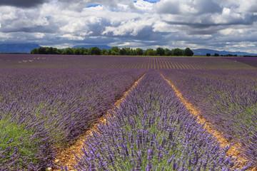 Lavender Fields Brunet Valensole Forcalquier Alpes-de-Haute-Provence Provence-Alpes-Cote d'Azur France