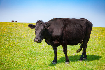 English rural landscape with grazing Aberdeen Angus beef cattle