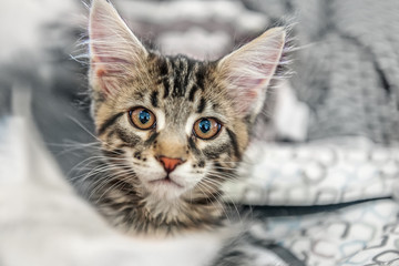 Beautiful fluffy grey young Maine Coon cat stares big beautiful intelligent eyes the lens. Portrait