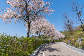Light pink cherry blossom flowers blooming with blue sky, Sakura flowers in spring season at Naksan park, South Korea on April 12, 2017