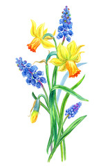 Bouquet of daffodils and muscari, hand drawing. Bouquet of spring flowers, watercolor illustration on white background, isolated with clipping path.