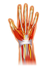 Human Hand Anatomy Illustration.  Anatomy Of The Wrist Learning Bone And Muscle.