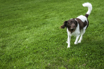 Dog Setter is playing on a grass