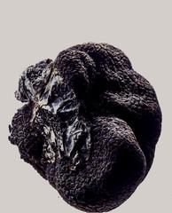 truffe noire , champignon ,Tuber melanosporum