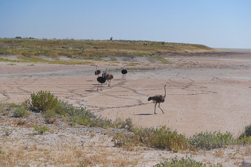 Family of ostrich on the African savannah on background of tall yellow grass. Namibia
