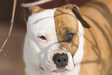 amstaff dog head