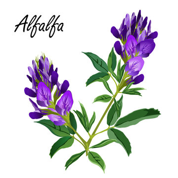 Alfalfa flowers (Medicago sativa, lucerne). Hand drawn vector illustration of alfalfa plant with leaves and flowers isolated on white background.