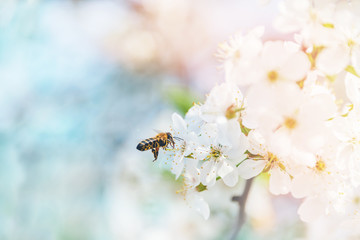 Flying bees in the air to the cherry blossoms in search of honey nectar. A symbol of spring.