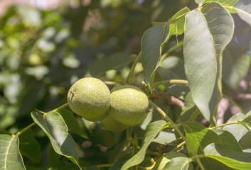 green walnuts on the tree