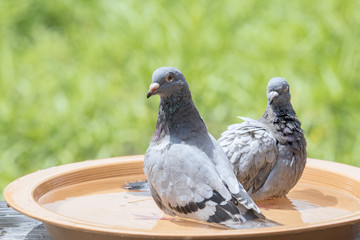 homing pigeon bird bathing in water dish