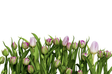 Tulips on an isolated white background. Beautiful bouquet of spring flowers on white background. Holidays card.