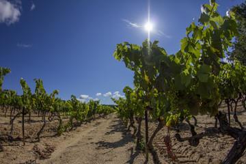 Grapes bathing in the sun, Plan de la Tour, France