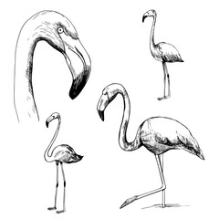 Flamingos. Vector sketch  illustration.