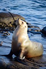Contented Sea Lion at La Jolla, CA