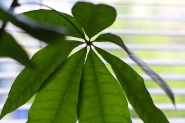 Glückskastanie (Pachira aquatica) Zimmerpflanze vor einem Vorhang mit grüner Optik Makro Blatt