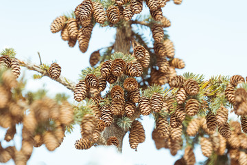 Beautiful fir cones on a pine tree branch