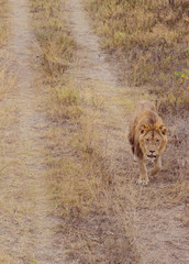 portrait photography of a lion walking on a dirt road in the wildlife of the serengeti national park in tanzania