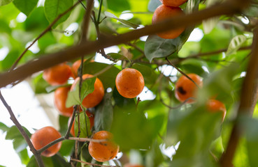 Small orange mandarines hanging from a tree branch