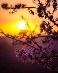 Mandorli in fiore al tramonto
