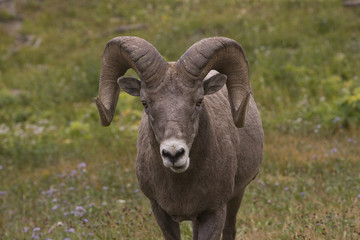 A Big Horn Ram looking straight into the camera