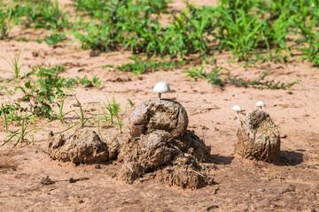 Elephant poo. Tarangire National Park. Tanzania.