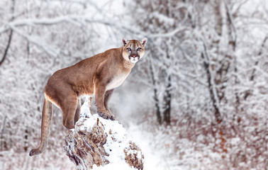 Printed kitchen splashbacks Puma Portrait of a cougar, mountain lion, puma, panther, striking a pose on a fallen tree, Winter scene in the woods