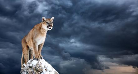 Printed kitchen splashbacks Puma Portrait of a cougar, mountain lion, puma, panther, striking a pose on a fallen tree
