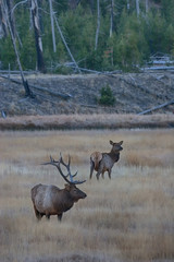 A large bull elk stands watch over a cow during the fall rutting season.