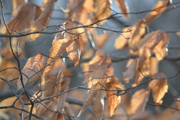 American Beech Leaves Hold On