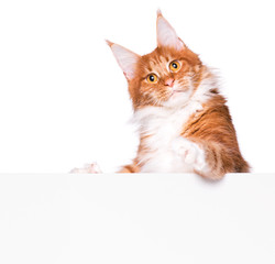 Maine Coon red cat holding sign or banner. Funny pet showing placard with space for text. Beautiful domestic kitty with blank board, isolated on white background.
