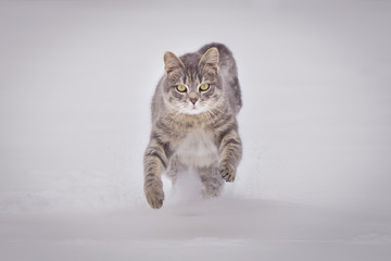 Domestic cat running in snow on cloudy day