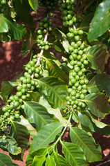 Coffee beans growing on plants at a coffee bean plantation on Kauai, Hawaii
