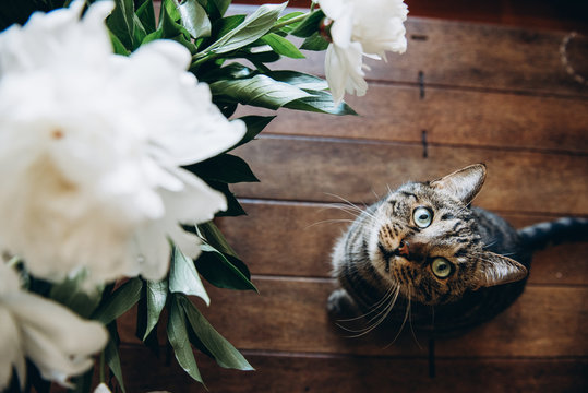 Funny photo on which a bouquet of white peonies next to which sits a beautiful cat and looks up. Top view