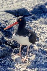American Oystercatcher, Fernandina Island, Galapagos