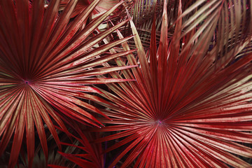Wall Mural - close up red Tropical big palm leaves in exotic country Thailand Landscape Holiday . concept of foreign background, summer plants or nature and travel