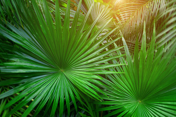 Wall Mural - close up green Tropical big palm leaves with sunlight in exotic country. concept of foreign background, summer plants or nature and travel