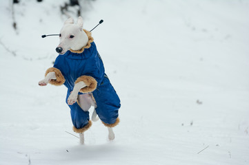 White greyhound dog in blue overalls jumping over the snow, runs in winter in the field