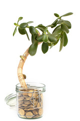 the plant grows from a jar with metallic gold coins, a tree-sized thick-skinned