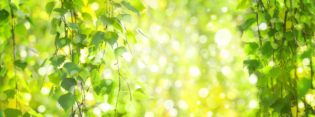 Fototapeten Lime grun Green birch leaves branches, green, bokeh background. Nature spring background.