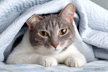 Cat grey white color peeking out from under the blankets