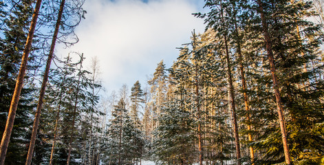 Spruce forest is in winter under the snow
